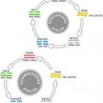 chi - Es wird unterschieden zwischen einem Ernährungszyklus und einem Schwächungszyklus.